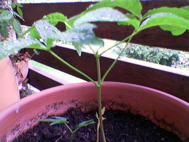 Bonsai Jungpflanze (Kastanie)